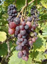"""Vigne """"Muscat de Hambourg - Raisin noir"""