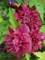 """HIBISCUS SYRIACUS """"FRENCH CABARET RED®"""""""
