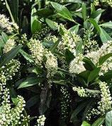 """Prunus laurocerasus """"Otto Luyken"""" - Laurier cerise"""
