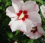 "Hibiscus syriacus ""hamabo®"" - althéa blanc rosé au coeur pourpre"