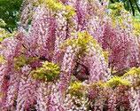 "Wisteria floribunda ""Pink Ice"" - Glycine du Japon"