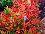 "NANDINA DOMESTICA ""MOON BAY"""
