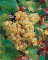 """Vigne """"Chasselas doré de Fontainebleau"""" - Raisin blanc"""