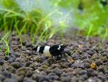 Panda (schwarz/weiss), Taiwan Bee