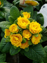Rosenprimel 'Gelb'