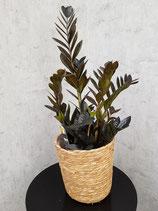 Zamie 'Raven Black' (Zamioculcas zamiifolia) ohne Übertopf