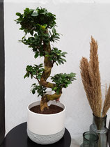 Bonsai (Ficus ginseng) mit Topf