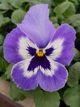 Stiefmütterchen großblütig hellblau - weiß mit Auge