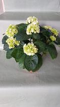 Hortensien weiß Topfgröße 14 cm