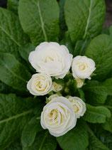 Rosenprimel 'Weiß'