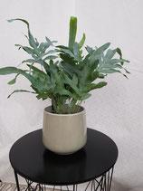 Tüpfelfarn (Phlebodium 'Blue Star')