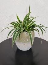 Grünlilie (Chlorophytum comosum 'Ocean') ohne Übertopf