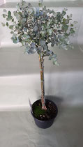 Eukalyptus-Stamm