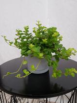 Zwergpfeffer (Peperomia rotundifolia)                                                                             ohne Übertopf