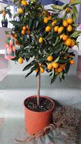 Kumquat-Stamm