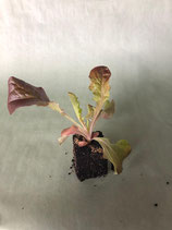 Pflücksalat 'Eichblatt' rot
