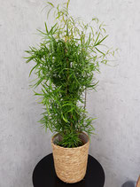 Asparagus flacatus ohne Übertopf