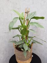 Philodendron 'Silver Queen' ohne Übertopf