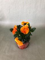 Hornveilchen orange