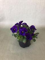 Hornveilchen lila