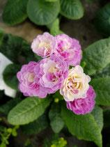 Rosenprimel 'Rosa'