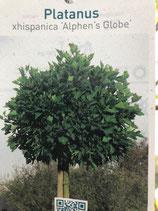 Kugelplatane (Platanus Alphens Globe) Stammhöhe 180cm