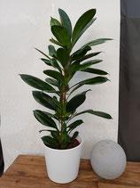 Afrikanischer Feigenbaum (Ficus cyathistipula) ohne Übertopf