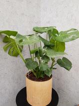 Fensterblatt (Monstera deliciosa) ohne Übertopf