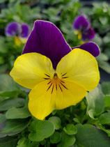 Hornveilchen 'Lila-Gelb'