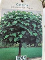 Kugeltrompetenbaum (Catalpa bignoides Nana) Stammhöhe 200cm