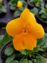 Hornveilchen 'Orange'