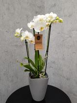 Weiße 4 Rispige Orchidee ohne Übertopf