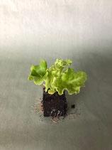 Pflücksalat 'Lollo Bionda' grün