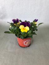 Hornveilchen lila-gelb
