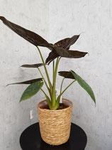 Pfeilblatt (Alocasia wentii) ohne Übertopf