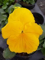 Stiefmütterchen großblütig gelb ohne Auge