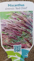 "Miscanthus sinensis ""Red Chief"""