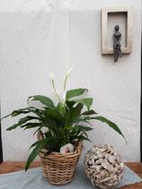 Einblatt (Spathiphyllum walisii)