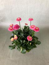Gänseblümchen rosa