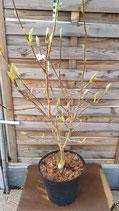 """Leuchtend gelbe Tulpen-Magnolie """"Daphne"""""""