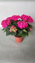 Hortensien pink Topfgröße 9,5 cm