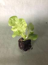 Pflücksalat 'Eichblatt' grün