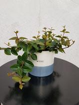 Zierpfeffer (Peperomia angulata 'Rocca Scuro') ohne Übertopf