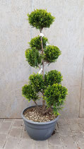 Cupressocyparis-Bonsai 1,2 m