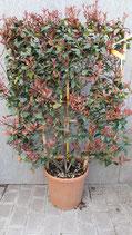 Immergrünes Photina-Spalier