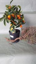 Kumquat-Stämmchen