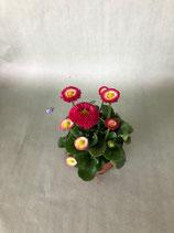 Gänseblümchen rot