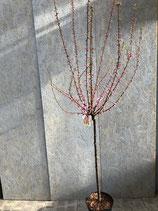 Mandelbäumchen Stammhöhe 90 cm