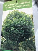 Kugeltulpenbaum (Liriodendron tulipifera Edward Gursztyn) Stammhöhe 180cm