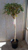 Rhododendron-Stamm